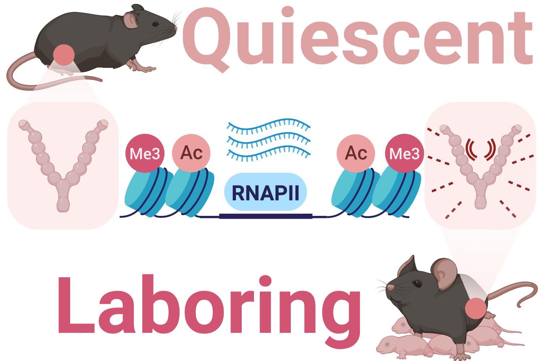 We study transcriptional gene regulation in preterm labour