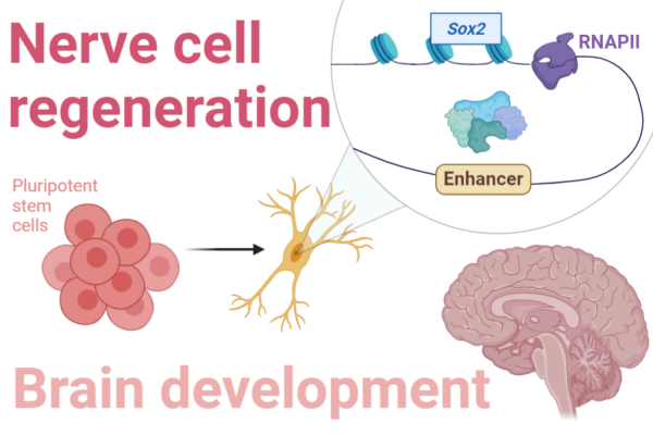Our research on the regulation of Sox2 and other genes has important implications for nerve cell regeneration and brain development